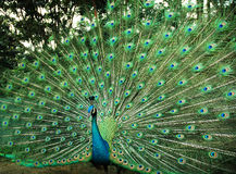 Beautiful peacock Stock Photos