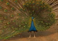 A beautiful peacock. In the zoo Stock Images