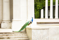 Beautiful Peacock in Ancient Theater. Stock Photography