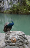 Beautiful peacock. Stock Photos