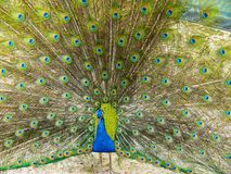 Beautiful peacock. With feathers open Stock Images