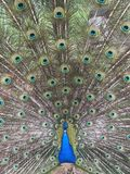 A Beautiful Peacock Stock Photography