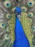A Beautiful Peacock Royalty Free Stock Photos