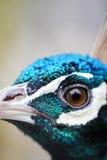 Beautiful peacock bird close up Stock Image