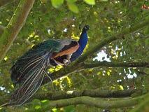 Beautiful peacock bird on a tree stock photo