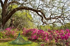 Beautiful Peacock in blooming garden. Royalty Free Stock Photo