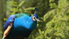 A beautiful peacock Royalty Free Stock Image
