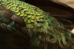 Beautiful Peacock Stock Photo