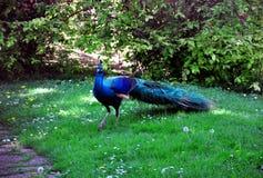 Beautiful peacock Stock Images