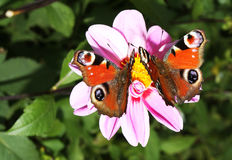 Beautiful peacock butterflies. Picture of a beautiful peacock (Inachis io) butterflies standing on a purple flower stock images