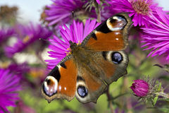Beautiful Peacock Butterfly Royalty Free Stock Photography