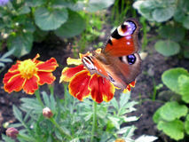 Beautiful peacock butterfly. (Inachis io) on a tagetes Stock Photo