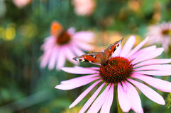 Beautiful the Peacock butterfly and echinacea flower in summer Royalty Free Stock Image