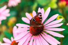 Beautiful the Peacock butterfly and echinacea flower in summer Royalty Free Stock Photo