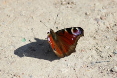 A beautiful Peacock butterfly , Inachis io Royalty Free Stock Photography