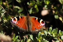 Butterfly on a branch. The beautiful peacock butterfly Inachis io is a well-known and instantly recognisable species thanks to its unique patterning. The stock images