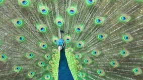 Beautiful peacock close-up, stock footage