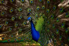 Beautiful Peacock Closeup with open feathers royalty free stock photo