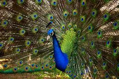Beautiful Peacock Closeup with open feathers stock photos