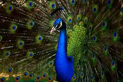 Beautiful Peacock Closeup with open feathers royalty free stock images