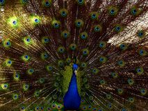 Beautiful Peacock Closeup with open feathers royalty free stock image
