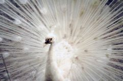 Peacock white male close up picture image Royalty Free Stock Photos