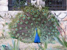 A beautiful peacock with colorful feathers, close up. A beautiful peacock with bright colorful feathers, close up stock photo