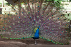 A beautiful peacock with colorful feathers. A peacock showing off it's colors. Paradise Park Farm, Koh Samui Photo taken on: 27.12.2015 stock photos