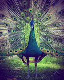 A beautiful peacock with colorful feathers. Zagreb zoo. Croatia Stock Photo