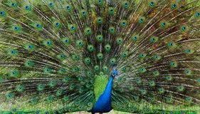 Beautiful peacock with colourful tail fully opened Stock Image