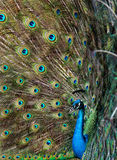 Beautiful peacock with colourful tail fully opened Stock Images