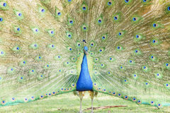 Beautiful peacock displaying his beautiful fan. At Los Angeles County Arboretum & Botanic Garden Royalty Free Stock Images