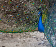 Beautiful peacock displaying his colorful tail, zoo, Tbilisi royalty free stock images