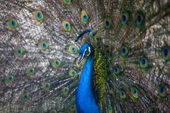 Beautiful peacock displaying his colorful tail, zoo, Tbilisi stock photo