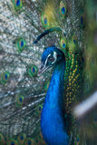 Beautiful peacock displaying his colorful tail, zoo, Tbilisi royalty free stock photos