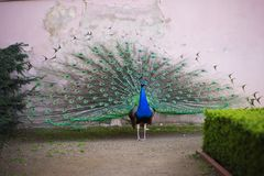 Beautiful peacock displaying his plumage. Portrait of peacock with feathers out. Stock Images