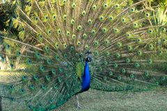 Beautiful peacock displaying its plumage in Austin, Texas royalty free stock photo
