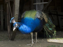Beautiful Peacock in Farm Shed. A bright and colorful male peacock coming out of an old farm shed Royalty Free Stock Image