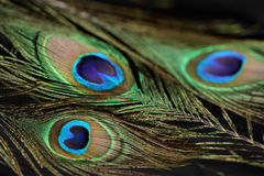 A beautiful peacock feather. Iridescent peacock feather on the black background Royalty Free Stock Photo