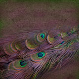 Beautiful peacock feather background Royalty Free Stock Photos