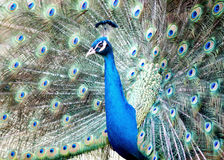 Beautiful peacock with feather out. A beautiful peacock opens its feather up ,so pretty Royalty Free Stock Images