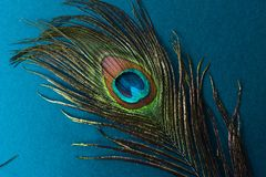 beautiful peacock feather on blue background Royalty Free Stock Photography