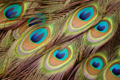 Beautiful peacock feathers. Close up picture of peacock feathers stock image