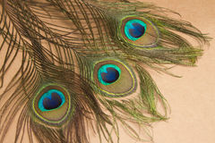 Beautiful  peacock feathers ,animal background Stock Images