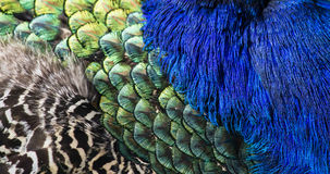 Beautiful peacock feathers as background Stock Photo