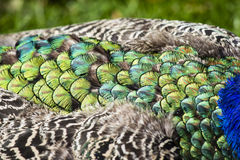 Beautiful peacock feathers as background Stock Image