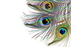 Beautiful peacock feathers as background with text copy space Royalty Free Stock Image