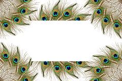 Beautiful peacock feathers as background with text copy space Stock Photos