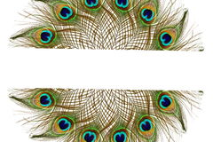 Beautiful peacock feathers as background with text copy space Royalty Free Stock Photos