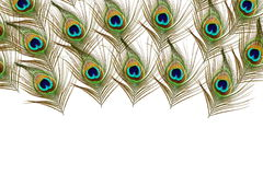 Beautiful peacock feathers as background with text copy space Stock Photography